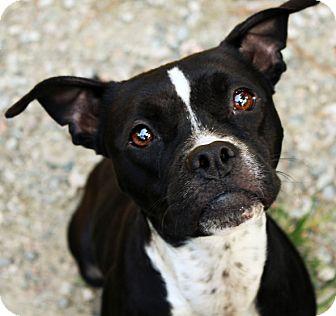 Boston Terrier Boxer Mix For