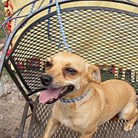 Adopt A Pet :: Camryn - Dallas, TX