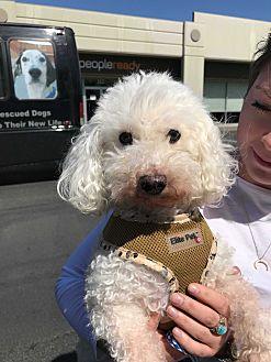 Adopt A Pet :: Snow  - Renton, WA