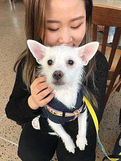 Adopt A Pet :: Bolly  - Renton, WA