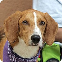 Adopt A Pet :: Seymour *Adopt or Foster* - Fairfax, VA