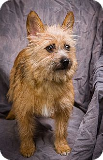 Yorkie, Yorkshire Terrier/Chihuahua Mix Dog for adoption in Anna, Illinois - PIPPY