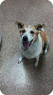 La Pulga Las Vegas >> Las Vegas Nv Collie Meet Pulga A Pet For Adoption