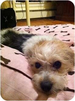 New York Ny Havanese Meet Didi A Pet For Adoption