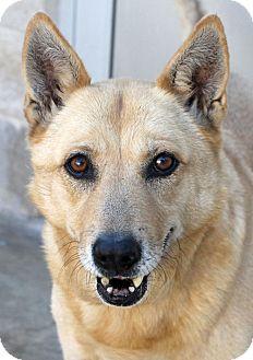 German Shepherd Dog/Chow Chow Mix Dog for adoption in San Antonio, Texas - Lacy