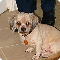 Tuscaloosa Al Shih Tzu Meet Bear A Pet For Adoption