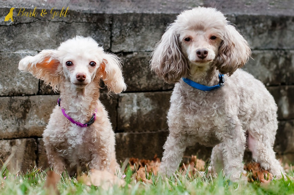 Pittsburgh Pa Poodle Miniature Meet Nyree And Teddy