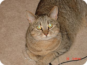 Abyssinian Cat for adoption in Denver, North Carolina - Susie