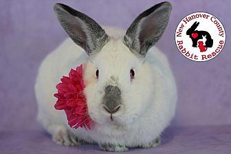 Adopt A Pet :: Blossom  - Wilmington, NC