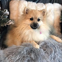 Recycled Poms And Schipperkes In Dallas Texas