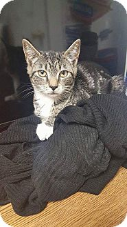 Domestic Shorthair Kitten for adoption in Oxford, Connecticut - Pebbles