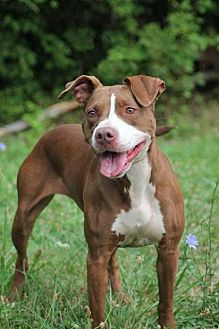 Pit Bull Terrier Mix Dog for adoption in Centerburg, Ohio - Kempa