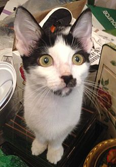 Adopt A Pet :: Miranda  - Dallas, TX