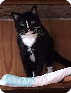 Domestic Shorthair Cat for adoption in Greensburg, Pennsylvania - Tavi