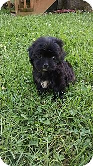 Washington Dc Shih Tzu Meet Athena A Pet For Adoption