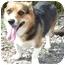 Photo 2 - Corgi Dog for adoption in Provo, Utah - JAMIE