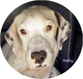 Dalmatian/Pointer Mix Puppy for adoption in Mandeville Canyon, California - Bailey