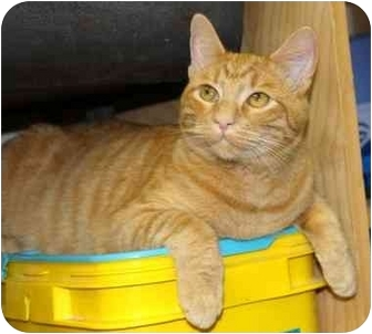 Domestic Shorthair Cat for adoption in Phoenix, Oregon - Duffy