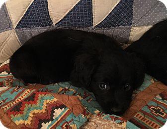 Norfolk Terrier/Dachshund Mix Puppy for adoption in Boerne, Texas - Spuds