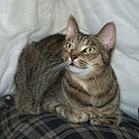 Domestic Shorthair Cat for adoption in Sunderland, Ontario - Bella (URGENT)