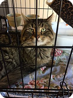 Maine Coon Cat for adoption in Clay, New York - Mainecoon mix
