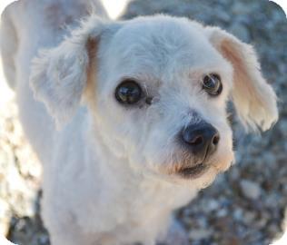 New Orleans, LA - Bichon Frise  Meet Chloe a Pet for Adoption