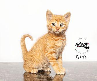 Adopt A Pet :: Ygritte  - Houston, TX