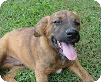 Boxer/Jack Russell Terrier Mix Dog for adoption in Spring Valley, New York - Ruger