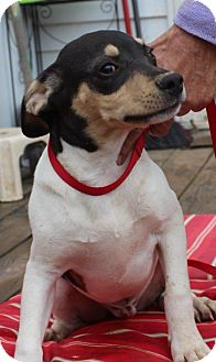 Beagle Mix Puppy for adoption in Franklin, Tennessee - Alvin