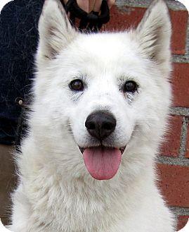 Siberian Husky/Husky Mix Dog for adoption in Los Angeles, California - Kuma *VIDEO*
