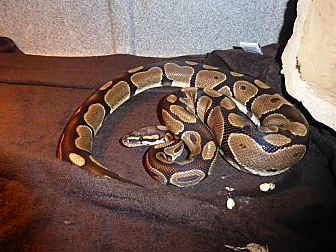 Adopt A Pet :: Ball python 2  - Woodbridge, VA