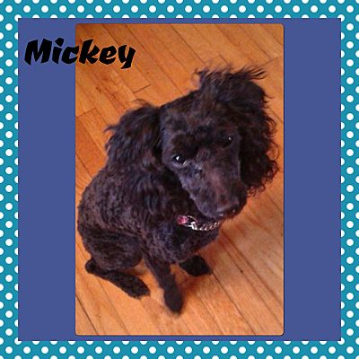 Winnipeg Mb Poodle Toy Or Tea Cup Meet Mickey A Pet