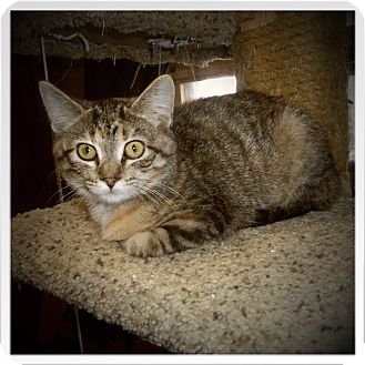 Domestic Shorthair Cat for adoption in Medford, Wisconsin - GRACIE