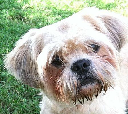 Huntsville Al Shih Tzu Meet Happy A Pet For Adoption