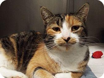 Domestic Shorthair Cat for adoption in Grants Pass, Oregon - Harper