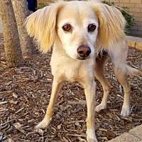 Cocker Spaniel Mix Dog for adoption in Los Angeles, California - PRINCESS