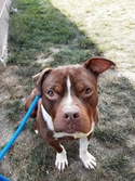 Adopt a Pet :: Mogwai - Kansas City, MO -  American Pit Bull Terrier Mix