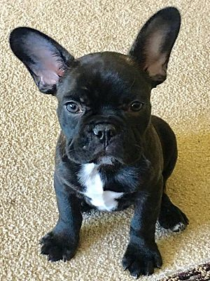 Columbus Oh French Bulldog Meet