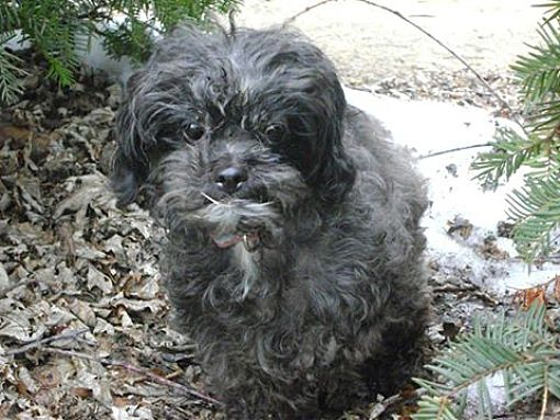 Toy Poodle Rescue Michigan