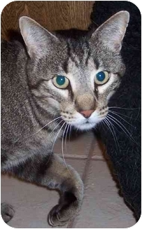 Domestic Shorthair Cat for adoption in Oklahoma City, Oklahoma - Jimmy Durante
