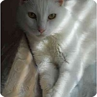 Adopt A Pet :: Super Cuddly White Cat! - Elkton, MD