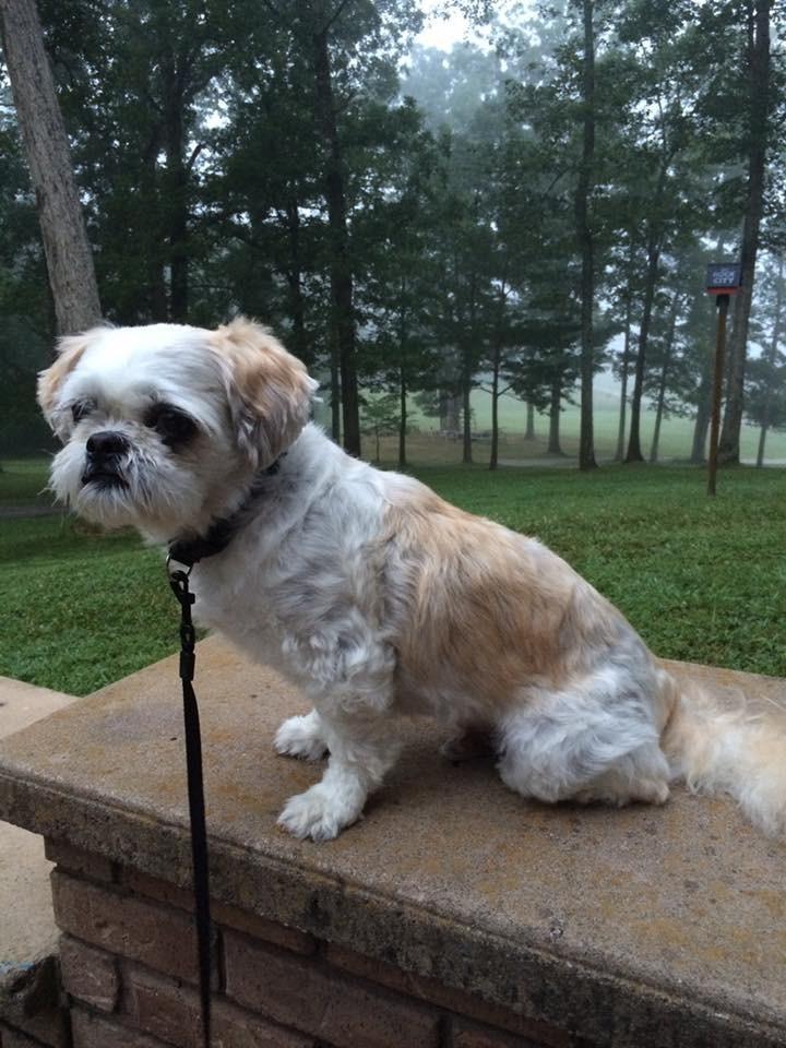 Syracuse Ny Shih Tzu Meet Bandi A Pet For Adoption