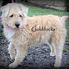 Adopt A Pet :: Goldilocks~adopted!