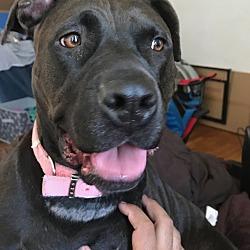 Puppies for Sale in Ann Arbor Michigan - Adoptapet com