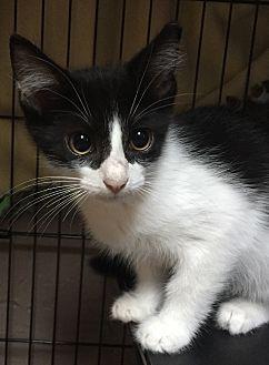 Adopt A Pet :: ROSS  - Northwood, NH