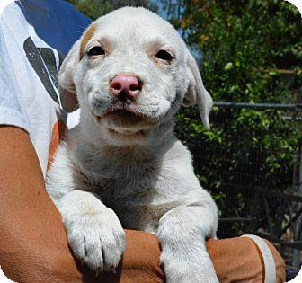 Labrador Retriever/Mastiff Mix Puppy for adoption in Anza, California - Winnie