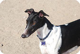 Greyhound Dog for adoption in Tucson, Arizona - PAISLEY