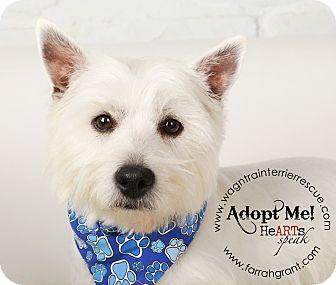 Westie, West Highland White Terrier Dog for adoption in Omaha, Nebraska - Cooper