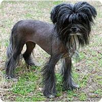 Adopt A Pet :: Roxanne - Whitewright, TX