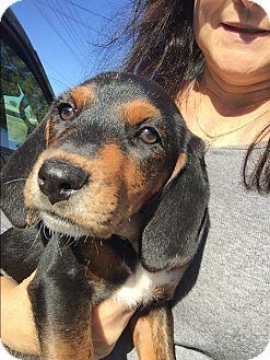 Mountain Cur/Bluetick Coonhound Mix Puppy for adoption in Acworth, Georgia - Elsa - Frozen Litter
